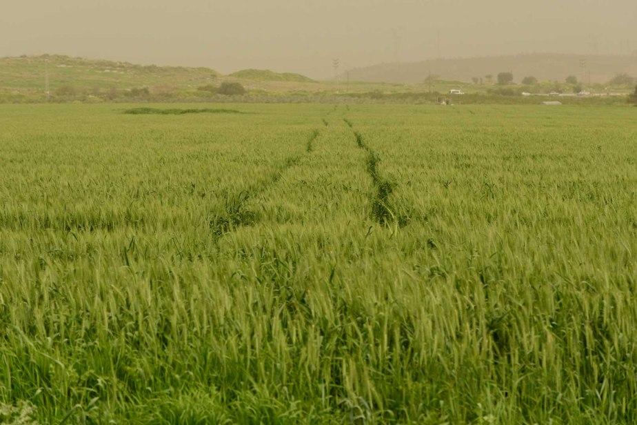 שדה חיטה ירוק ביוםצהוב