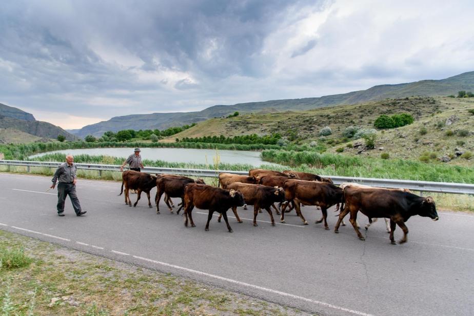 גאורגיה 2017 – פרות וחיותאחרות