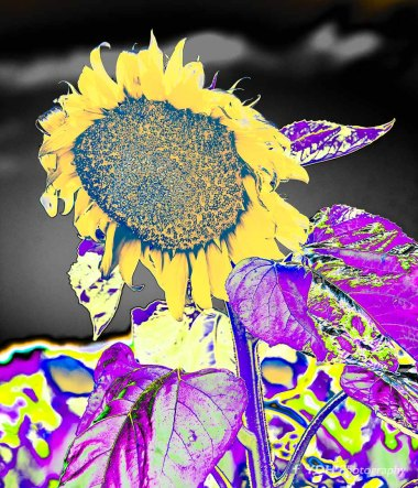 YDH_6665_20180521_Sunflowes