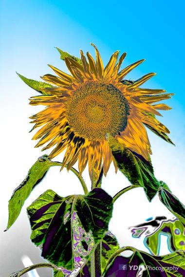 YDH_6703_20180521_Sunflowes-3