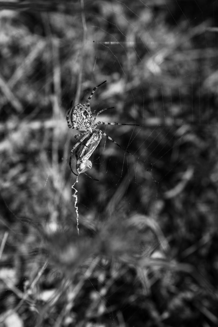 עכביש זולל פרפר